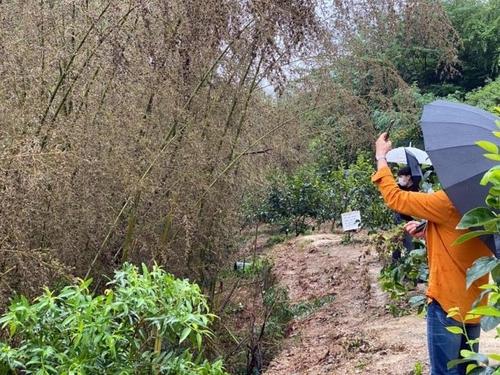 꺾어가고 잘라가고…수난당하는 희귀 대나무 꽃