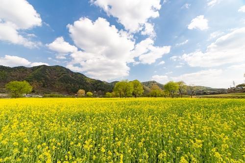 샛노란 꽃향연 꿈꾸며 옥천군 유채꽃축제 준비 시작