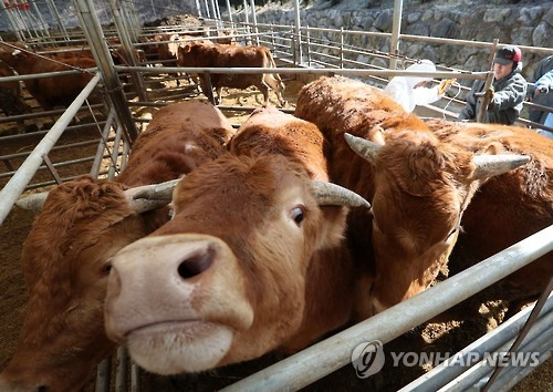 Cows are being vaccinated at a farm in Andong, about 270 kilometers southeast of Seoul, on Feb. 9, 2017. (Yonhap)