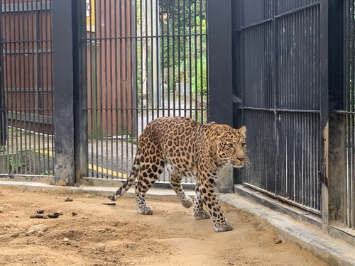 Seoul Zoo sends 2 leopards to Germany, Denmark