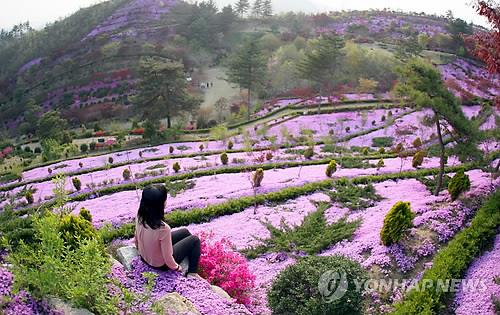분홍빛 꽃잔디 동산