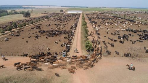 브라질의 대규모 소 사육 농장 [브라질 뉴스포털 UOL]