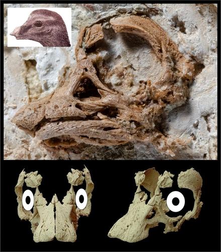 티타노사우르 배아 실제 두개골(상단)과 복원된 두개골