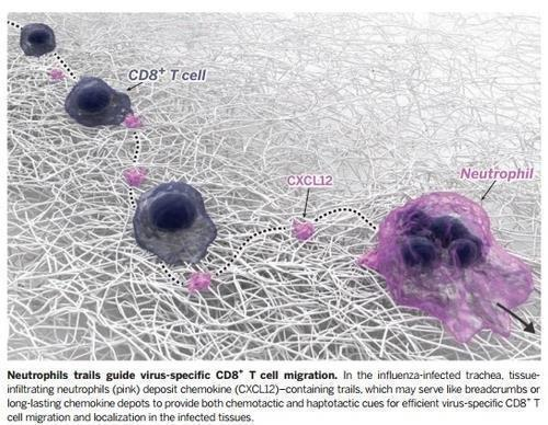 호중성 백혈구의 유도를 따라가는 '바이러스 특이' CD8+ T세포