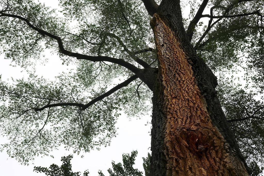 비술나무. 가지가 잘리고 난 상처에서 새어 나온 수액이 흘러내리면서 몸통의 일부가 옅은 갈색으로 변했다.[사진/전수영 기자]