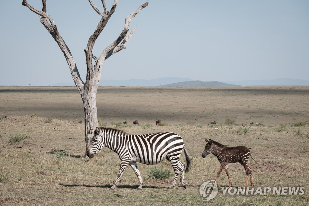 KENYA-NATURE-WILDLIFE-ANIMAL-ZEBRA