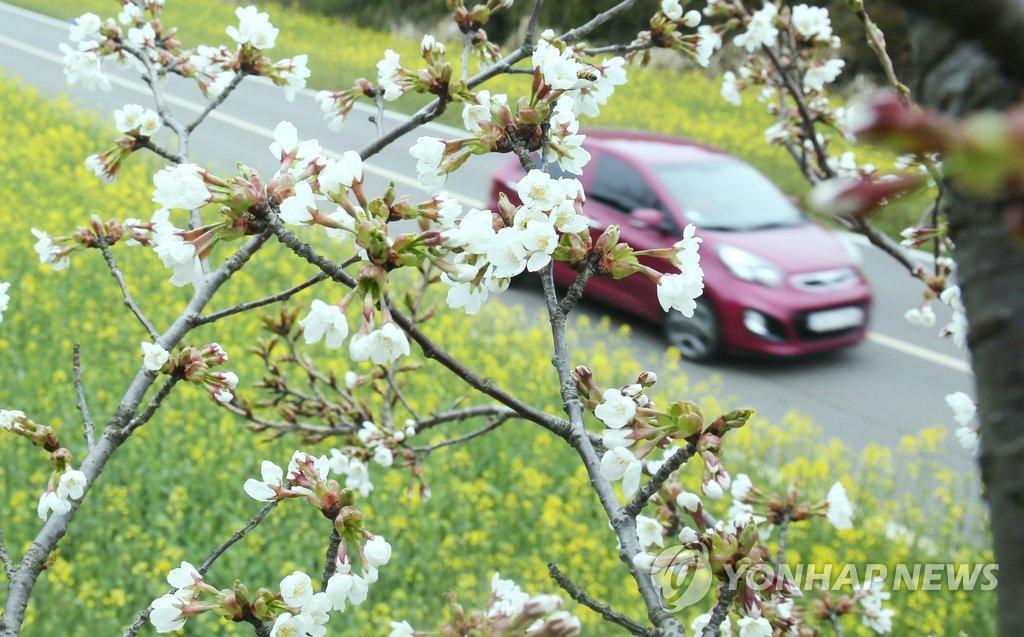 유채꽃과 벚꽃 어울린 제주 녹산로