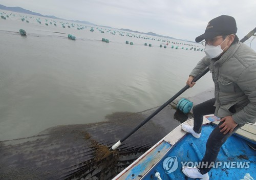 Invasive algae damages seaweed farm