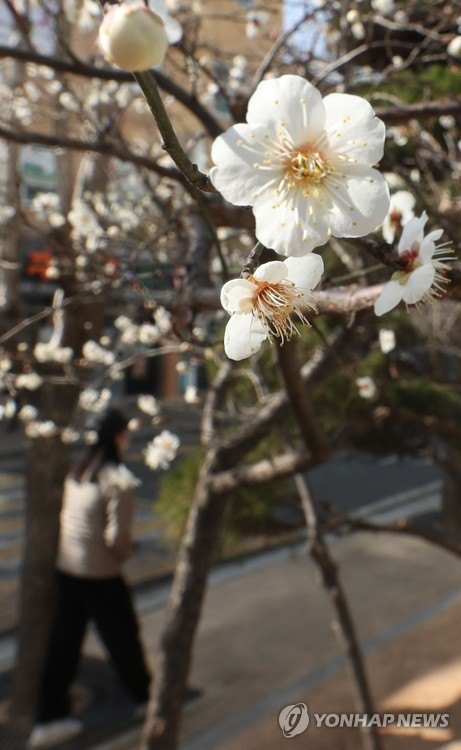 Unseasonal apricot flowers